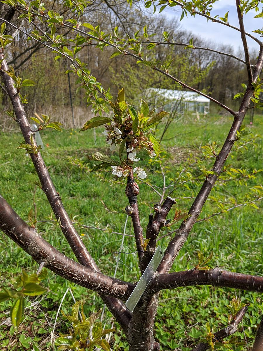 cherry graft flowering