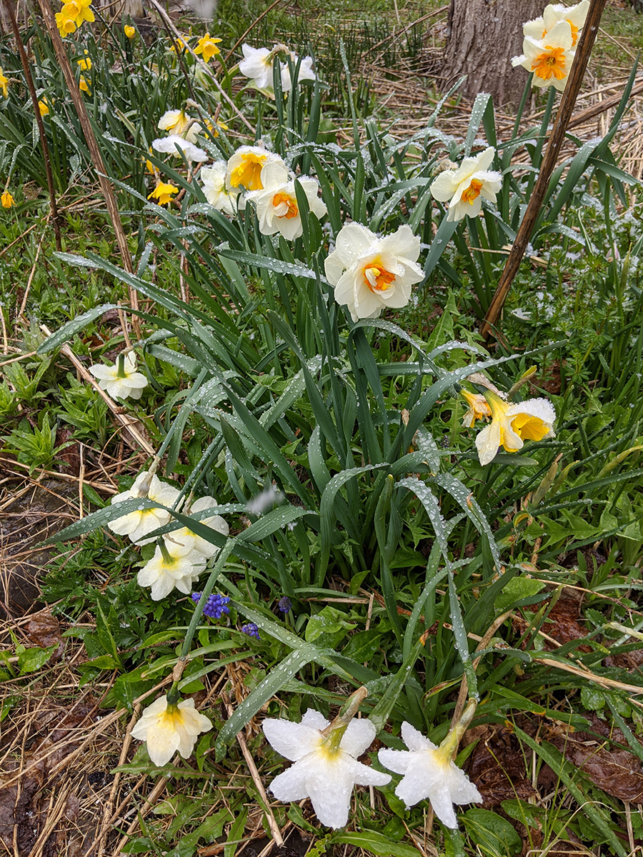 Daffodils with snow