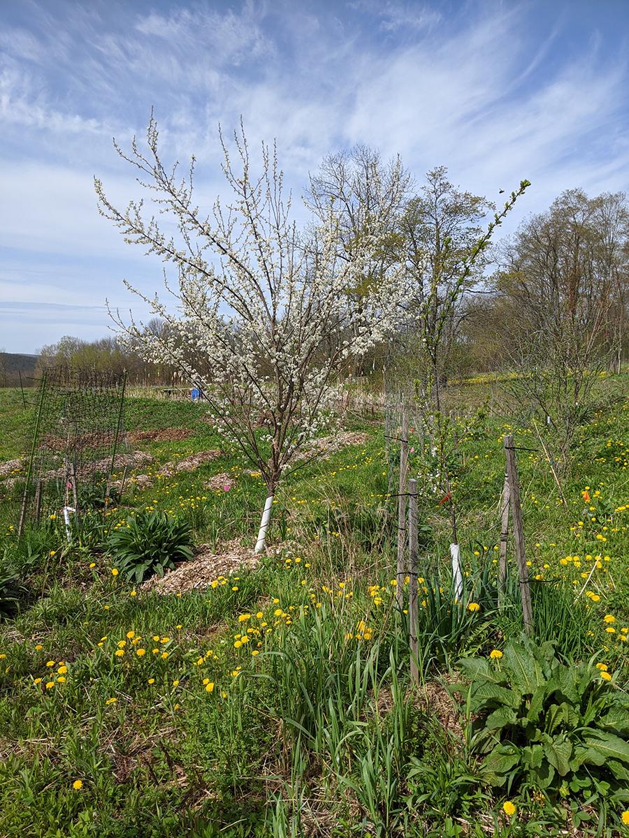 Toka Plum tree